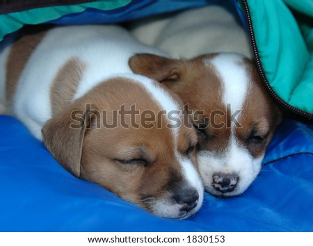 Two Jack Russell Puppies napping together on their blanket