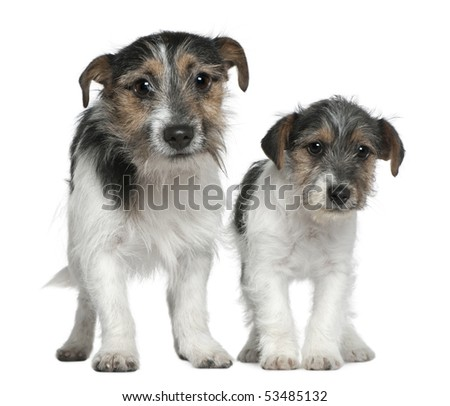 Two Jack Russell Terriers, 4 months and 1 years old, standing in front of white background