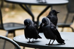 Two jackdaws looking down while standing on the table, with blurred background.