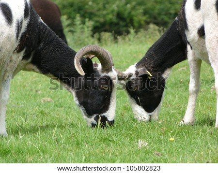 Two Jacob ewes grazing head to head