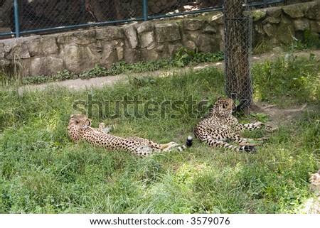 Two jaguars resting.