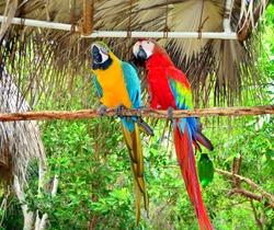 Two  Jamaica Parrots