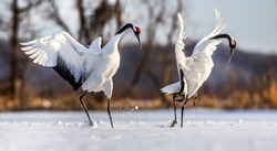 Two Japanese Cranes are dancing on the snow. Japan. Hokkaido. Tsurui.