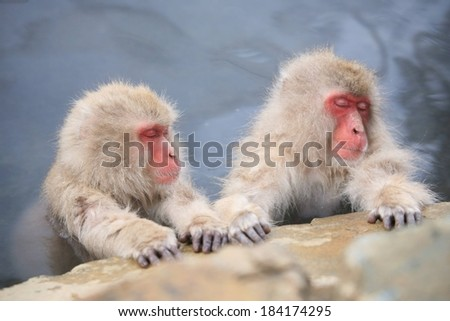 Two Japanese macaques or snow monkeys holding onto a rock with their hands.