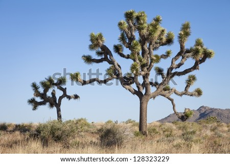 Two Joshua Trees, Yucca brevifolia, Joshua Tree National Park, California, USA