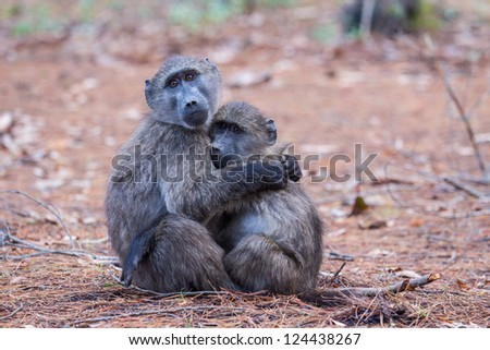Two juvenile baboons embracing each other