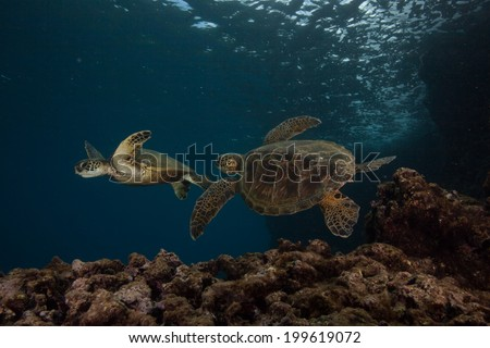 Two juvenile sea turtles playing near the reef