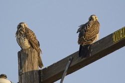 Two juvenile Swainson's Hawks (Buteo swainsoni), a California State Threatened species.