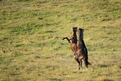 Two Kaimanawa wild horses – young stallions fighting