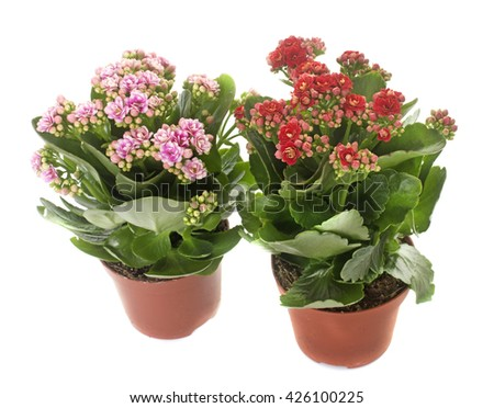 two Kalanchoe in front of white background #426100225