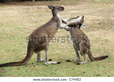 Two kangaroos fight
