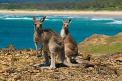 Two kangaroos on the Australian coast