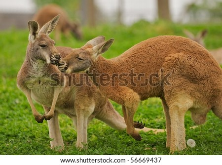 Two kangaroos sharing a clover in a field.