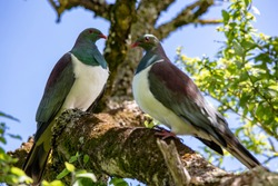 Two kereru, or wood pigeons, perch in a native tree in Canterbury, New Zealand