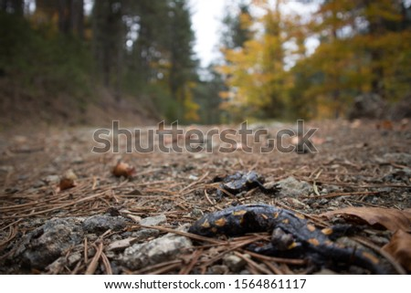 Two killed, yellow spotted, fire salamanders (salamandra salamandra), possibly from a car. Blurred background. At Pindus National Park (Valia Calda).