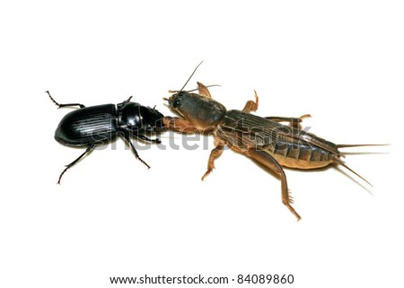 two kinds of insects are fighting