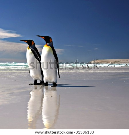 Two King Penguins at Volunteer Point on the Falkland Islands