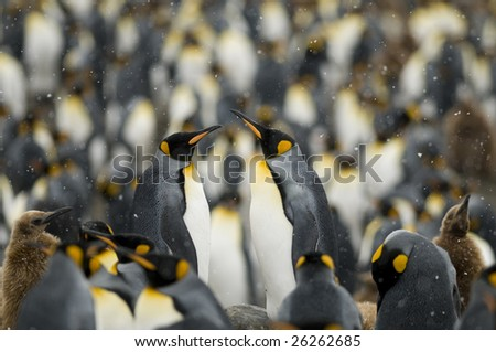 Two king penguins standing out from the colony in the snow