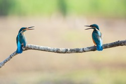 Two Kingfisher fledglings on a branch over the river (alcedo atthis). ideal photo to express concept of friendship or couple, quarrel, talk. ideal for coronavirus concept on social distancing