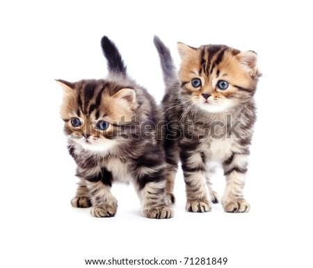 two kitten pure breed striped british isolated - stock photo