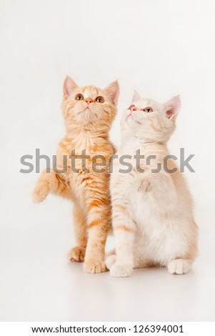 Two kittens looking up, on a gray background