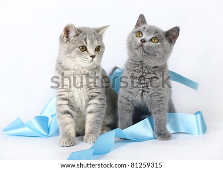 Two kittens with blue ribbon
