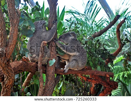 Two Koalas holding a tree trunk in New South Wales #725260333