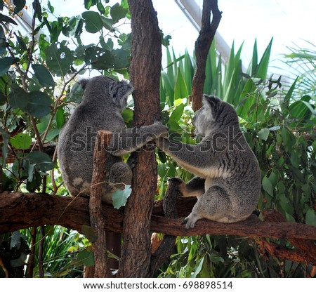 Two Koalas holding hands and looking away, while sitting on a branch #698898514