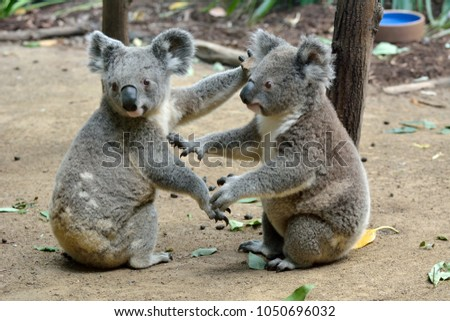 Two koalas sitting on the ground in Queensland, Australia. #1050696032