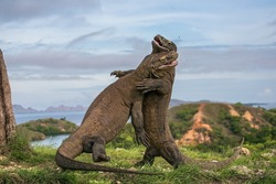 Two Komodo dragon fight with each other. Indonesia.