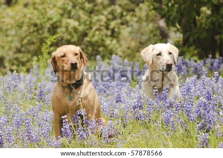 Two labrador dogs sitting  in the wildflowers attentively waiting for a command while training for hunting