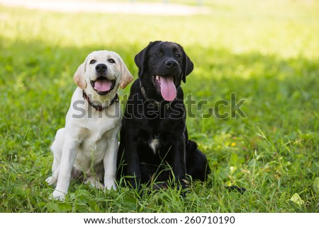 Two Labrador puppy black and white sitting on the grass.
