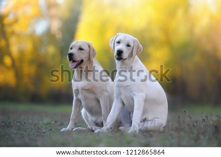 Two Labrador retriever dogs sit on the grass in the park posing on camera #1212865864