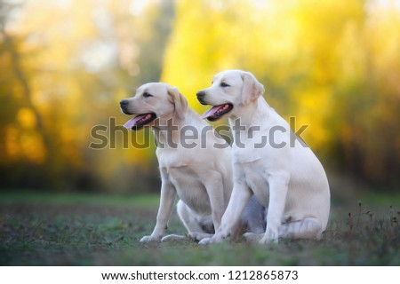Two Labrador retriever dogs sit on the grass in the park posing on camera #1212865873
