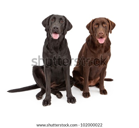 Two Labrador Retriever dogs sitting against a white backdrop