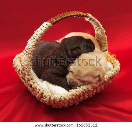 two labrador retriever puppies in a basket (one week old) - stock photo