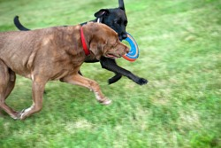 Two labrador retrievers competing over a frisbee and running through the grass