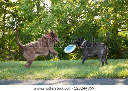 Two labrador retrievers playing with a plastic disc toy at a park