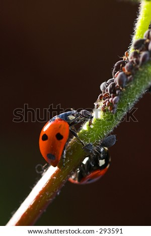 Two Ladybird bugs eating Black Aphids