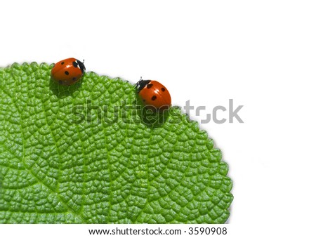 Two ladybird on green leaf. Coccinellidae Latreille