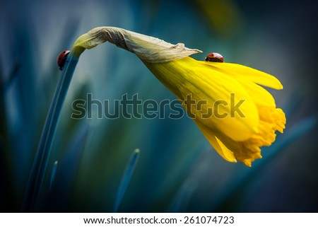 Two ladybug on beautiful narcissus flower.