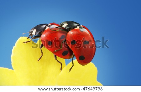 two ladybug on petal