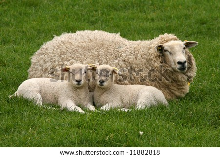 Two lambs and mother sheep