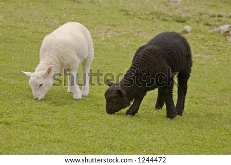 Two lambs grazing in pasture, one black and one white.