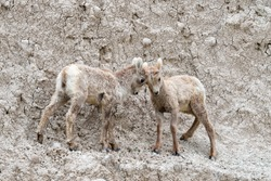 Two  lambs of  bighorn sheep (Ovis canadensis) are playing fight on the rocky cliff of Badlands National Park, South Dakota, USA