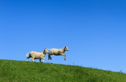 Two lambs, one jumping, on a green dike and with a clear blue sky.