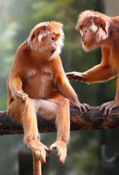 Two Langurs have a fun. The Javan langur (Trachypithecus auratus).