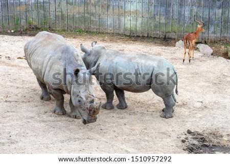 Two large beautiful rhinoceros on a walk. Wild animals. Wild nature.