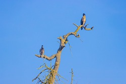 Two large birds peacefully perched on a bare tree trunk with green moss with a blue sky as a background on a sunny day