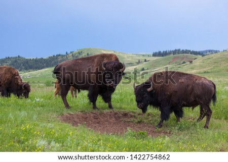 Two large bison bulls stand facing each other with their heads turned to the side to watch tourists in Custer State Park, South Dakota.